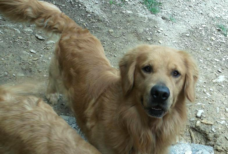 Available Puppies - Barbs Goldens